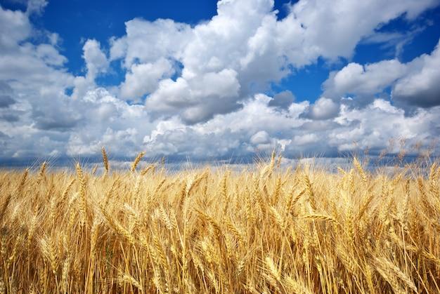 Золотое пшеничное поле под голубым небом