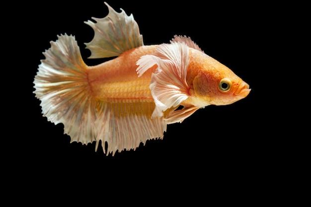 Золотисто-желтая бетта рыба на черном фоне