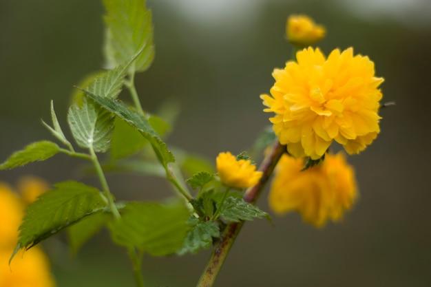 黄金色の花の頭、マリーゴールドのクローズアップ、黄色