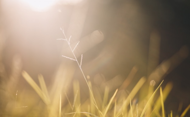 Golden yellow grass in the morning
