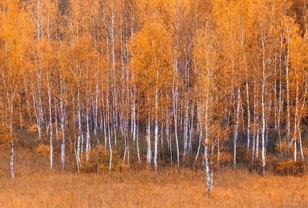 아름다운 자연 배경인 가을 숲의 자작나무에 황금빛 노란 잎이 있습니다.