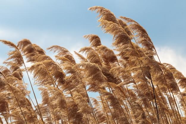 Золотисто-желтая пампасная трава крупным планом