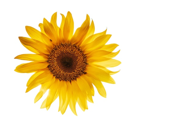 황금 노란 해바라기 흰색 배경에 고립
