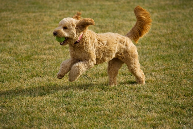 Goldendoodle dog running with ball