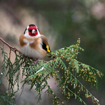 A goldfinch (carduelis carduelis) sitting on the fir.