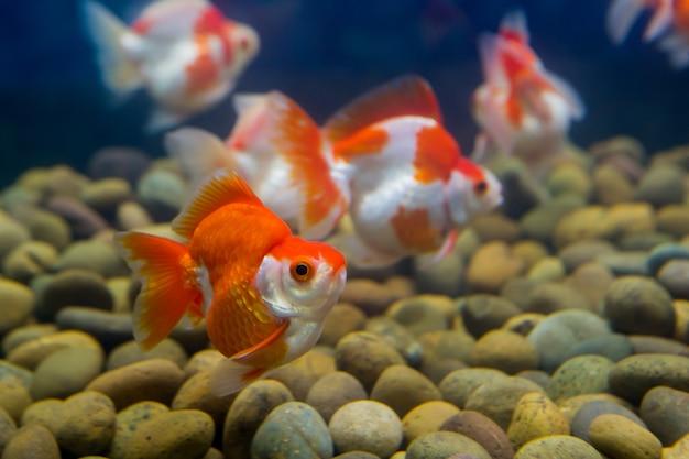 Goldfish in aquarium with green plants