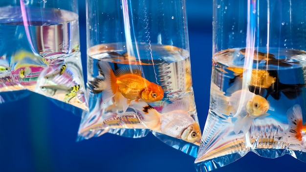 Goldfish in the bag, hang up for sale.
