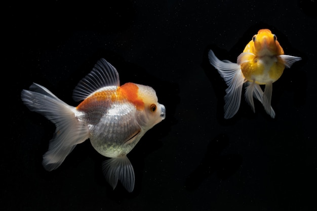 Goldfish in the black scene