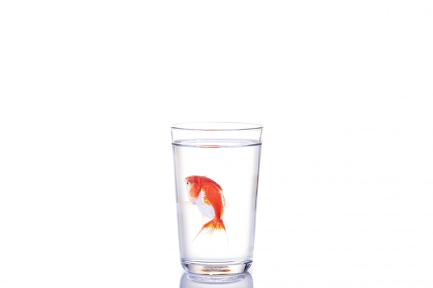 Goldfish floating in glass water on white