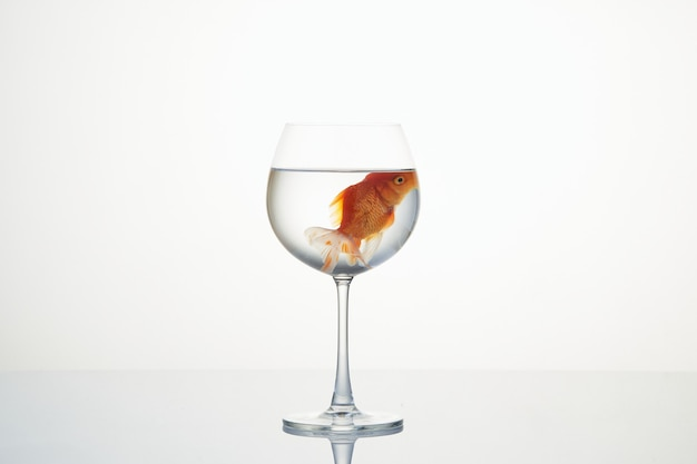 Goldfish floating in a wine glass on white