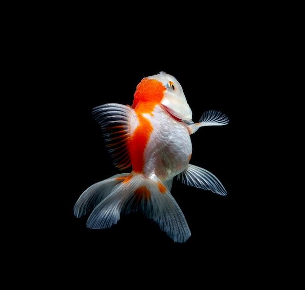 Goldfish isolated on a dark black background