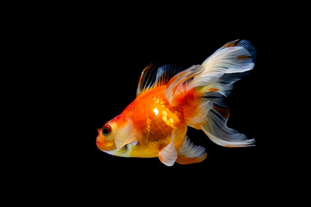 Goldfish isolated on a dark black