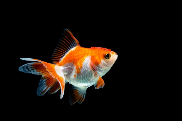 Goldfish isolated on dark black