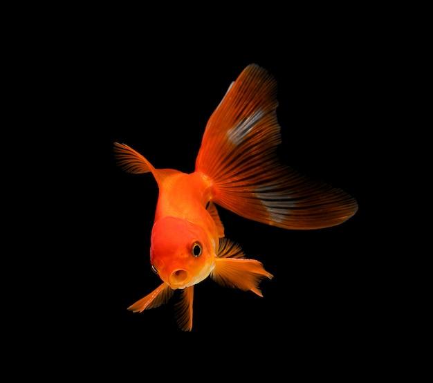 Goldfish isolated on dark black