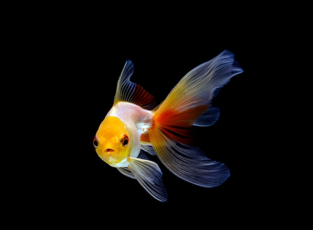 Goldfish isolated on a dark black