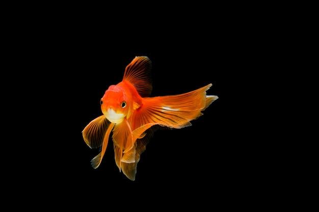 Goldfish isolated in the dark