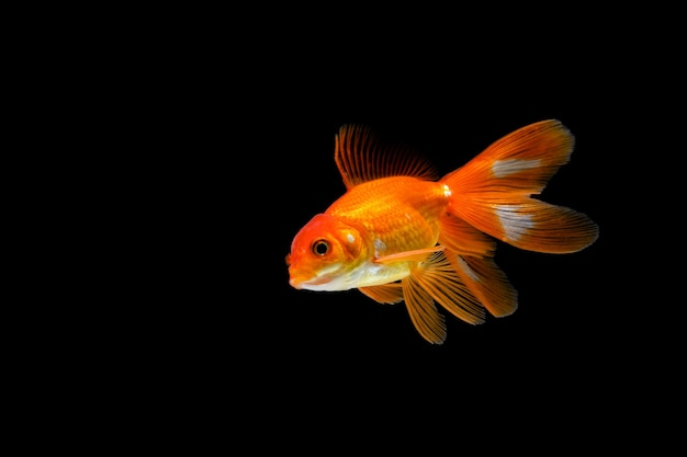 暗い黒の背景に分離された金魚。水族館のさまざまなカラフルなcarassiusauratus
