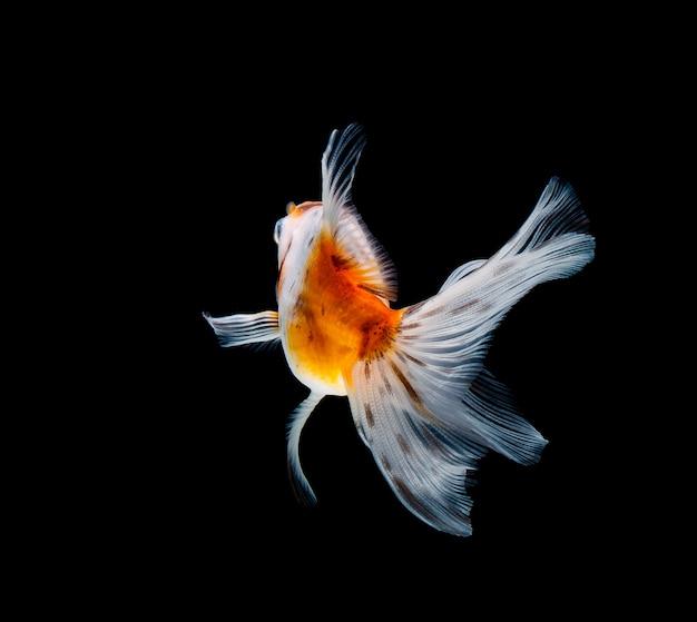 暗い黒の背景に分離された金魚