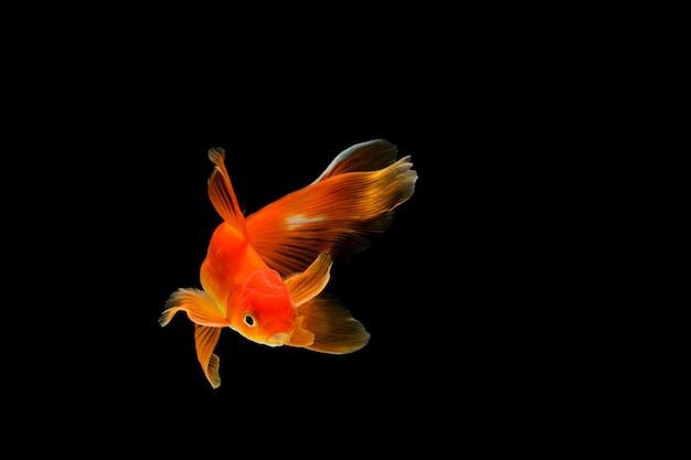 濃い黒に分離された金魚。水族館のさまざまなカラフルなフナ