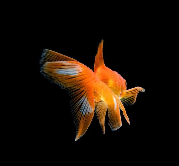 暗い黒い空間に分離された金魚