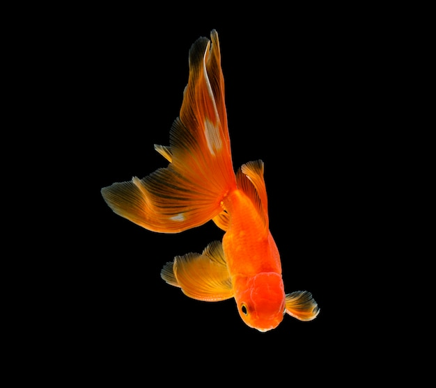 Золотая рыбка, изолированные на темно-черной поверхности