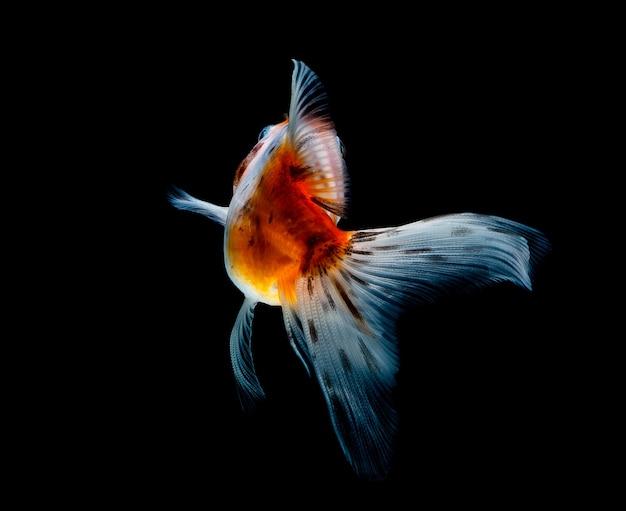 暗い黒に分離された金魚