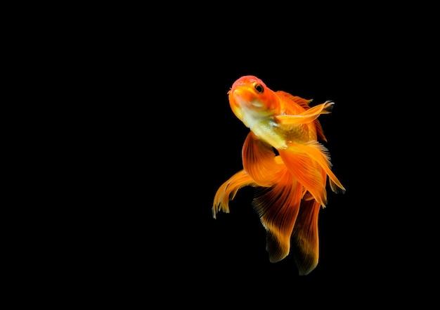 Золотая рыбка, изолированные на темно-черном.