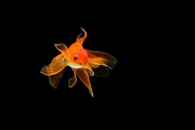 黒に分離された金魚