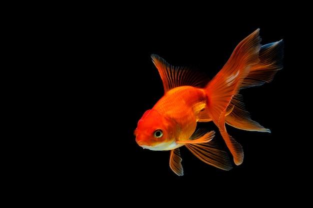 Goldfish isolated