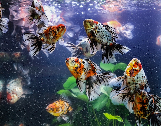Goldfish sucks a rocks in the aquarium