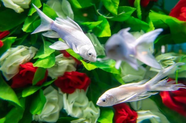 金魚は水の下で花の間を泳ぐ