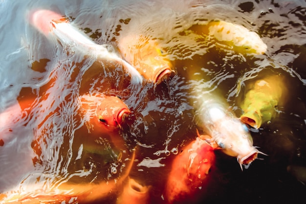 Goldfish swim in the pool against a background of orange water