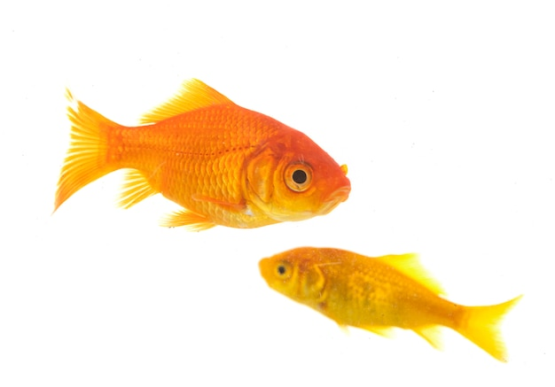 Goldfish in white isolated