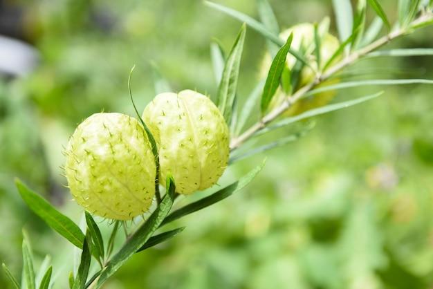 Gomphocarpus physocarpus баллонные растения