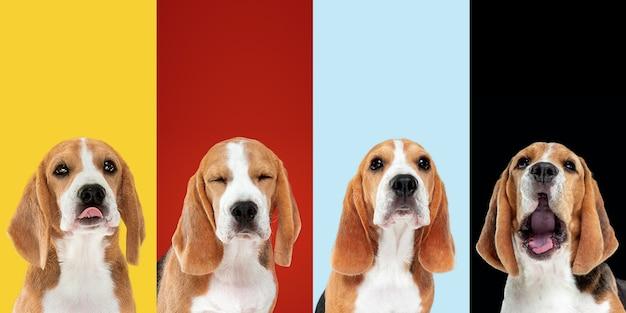 착한 소년. 세련된 사랑스러운 개들이 포즈를 취하고 있습니다. 귀여운 강아지나 애완동물은 행복합니다. 다른 순종 강아지. 여러 가지 빛깔의 스튜디오 배경에서 분리된 창의적인 콜라주입니다. 전면보기. 트렌디한 색상.
