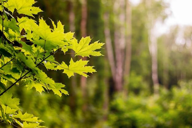 森の中で良い一日。カエデの葉がぼやけて背景。テキストのスペースをコピー