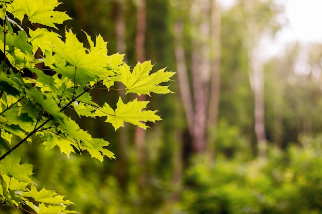 Good day in  woods. maple leaves on a blurry background. copy spase for text