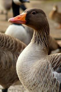 Goose, animal