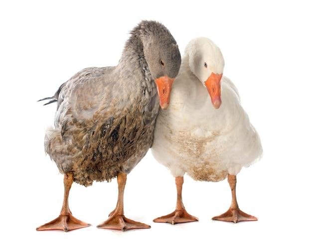 Goose animals