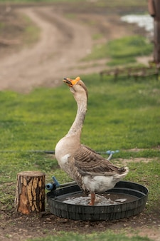 Goose in a ecological farm