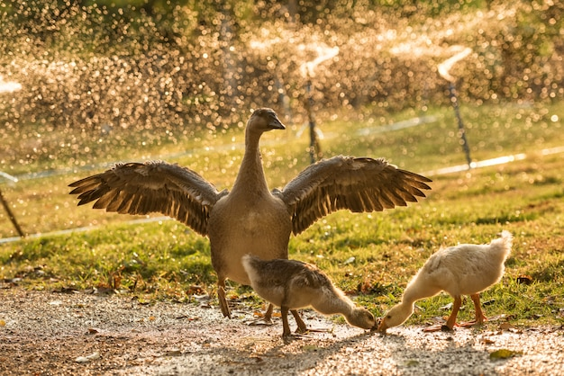 Goose flapping its wings at field