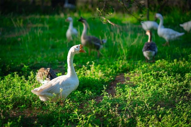 Goose flock in garden
