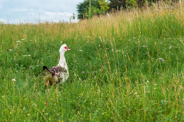 Goose on a green meadow in the village.