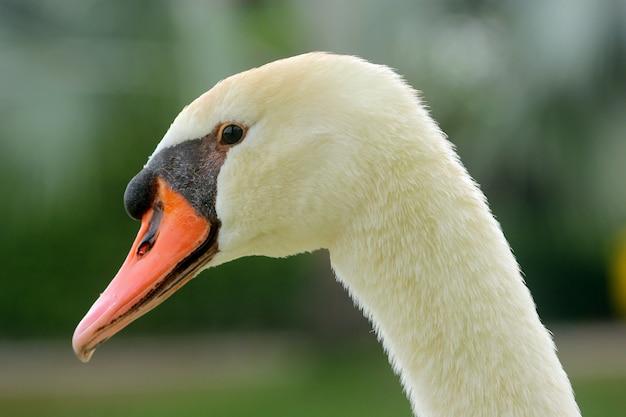 Goose head close-up