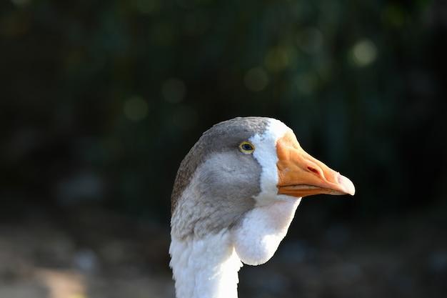 Goose head. goose head close up. grey goose