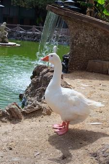 Goose in the margherita park, trapani coast