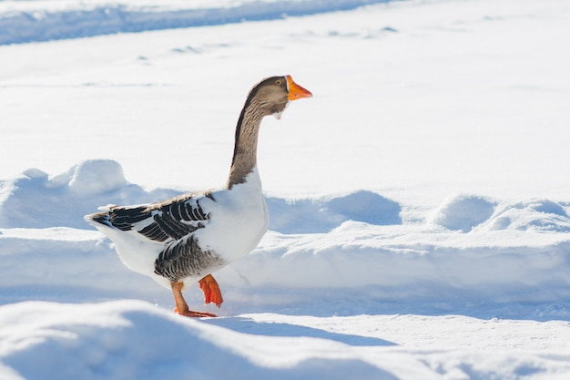 Goose walking in the snow