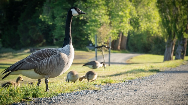 Goose with its cubs in town park morning shot in te anau fiordland national parknew zealand