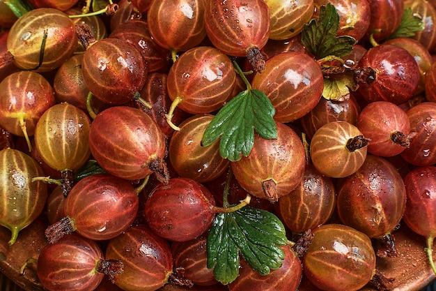 Raccolto fresco di uva spina. il raccolto di uva spina rossa matura in gocce d'acqua è steso sul tavolo. mockup di bacche mature per banner o sfondo