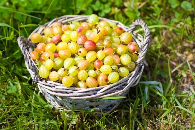 Gooseberry in basket  on grass